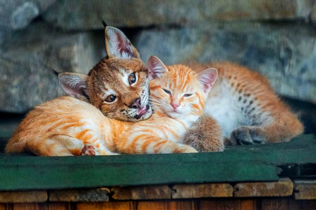 PAY-Kitten-and-lynx