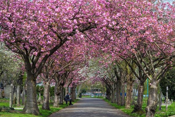 ウォンズワース墓地の桜(イギリス)
