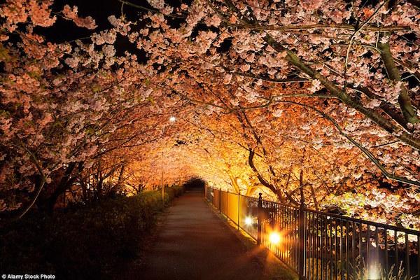 静岡の河津桜(日本)