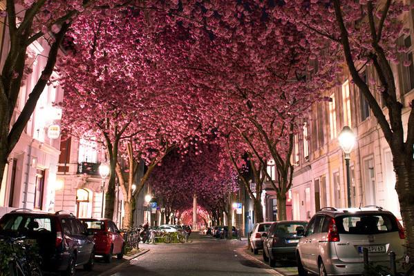 ボンの桜通り(ドイツ)